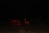 Gazelles at night.jpg