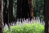 Yosemite Maraposa Grove.jpg