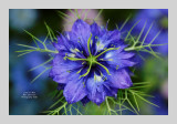 Love in a Mist 1