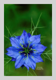 Love in a Mist 5
