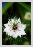 Love in a Mist 6
