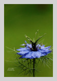 Love in a Mist 7
