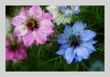 Love in a Mist 8