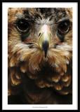 Bird of prey, France 2007