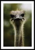 Ostrich, France 2007