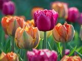 Red Tulip Among Orange DSCF02100