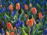 Tulips Among Bluebells DSCF02080