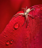 Spider On A Wet Red Tulip 20130508