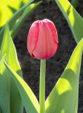 Framed Red Tulip DSCF02034