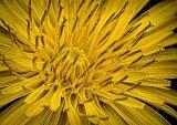 Dandelion Closeup DSCF02245