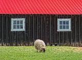 Barnyard Sheep DSCF02479