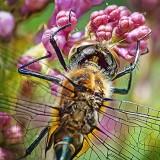 Dragonfly On A Lilac DSCF02597-8