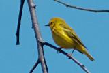 Yellow Warbler DSCF02618