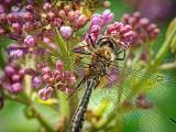 Dragonfly On A Lilac DSCF02600