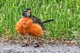 Robin On The Curb 20130520
