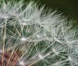 Seedy Dandelion DSCF02802-6