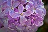 Lilac Closeup DSCF02848-9
