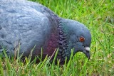 Pigeon In The Yard DSCF00942