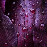 Wet Tulip Closeup 20130522