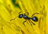 Ant On A Dandelion DSCF02916