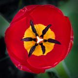 First Tulip 2013 (DSCF01661-3)