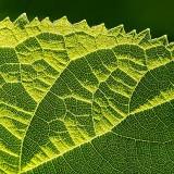 Backlit Leaf 20130527