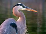 Great Blue Heron 20130529
