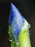 Wet Iris Bud DSCF03396-401