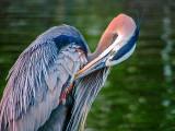 Heron Preening DSCF03194