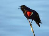 Red-winged Blackbird DSCF00620