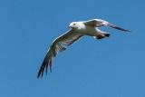 Gull In Flight DSCF03554