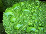 Wet Leaf DSCF03616