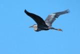 Heron In Flight DSCF03567