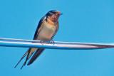 Barn Swallow DSCF03678