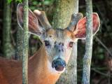 Deer & Deer Flies DSCF03879