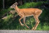 Deer On The Run DSCF03927