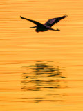 Heron In Flight At Sunrise DSCF04151