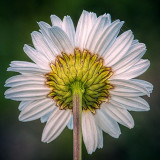 Daisy Backside 20130622