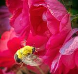 Bee In Flight DSCF05053