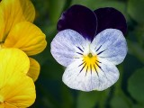 Pansy 20130703