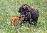 Bison Calf DSCF05776