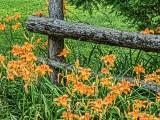 Daylilies & Fence 20130719