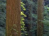 Pine Forest DSCF06276