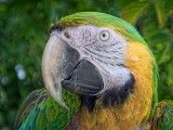 Macaw Closeup DSCF06741