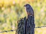 Bird On A Fence Post 20130730