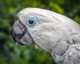 Cockatoo Closeup DSCF06735