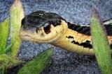Grinning Snake DSCF06947