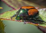 Japanese Beetle At Work DSCF07126