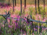 Backlit Purple Loosestrife DSCF07193-5