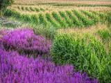 Purple Loosestrife & Corn 20130812